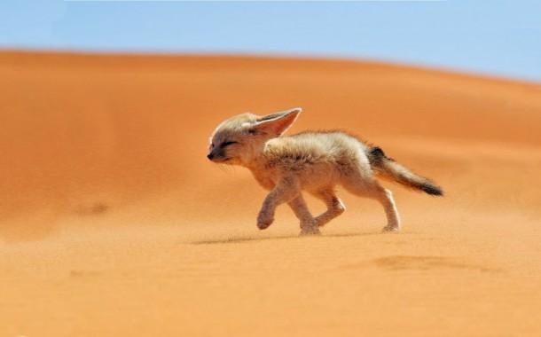 از خانواده روباه صحرا بدانید
